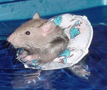 Jak se krysy učí plavat?