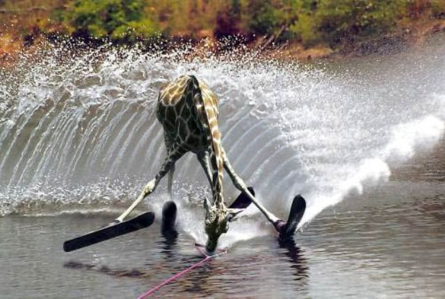 To je ale učenlivá žirafa. Vodní lyže, žádný problém.
